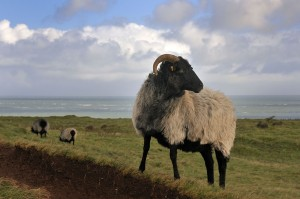 Heathland sheep