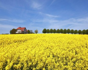 A field of rapeseed in full bloom