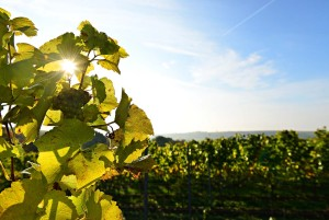 Wine Route - vineyard near Gleisweiler
