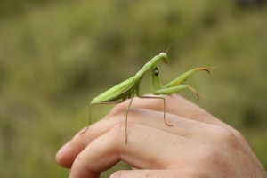 Close-up of a praying mantis on the photographer's hand