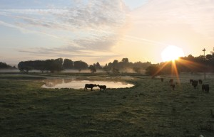 Water buffalo at sunrise, by water in meadows by the Blies river