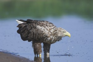 White-tailed eagle by the Elbe