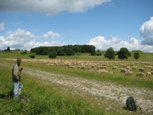 In high season, up to 30,000 sheep graze on the former Münsingen military training grounds