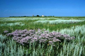 Hamburg Wadden Sea National Park, flowering salt marsh on Neuwerk Island