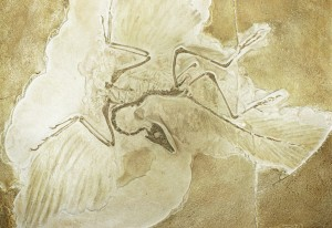 Famous archaeopteryx fossil