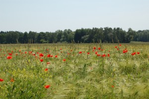 Wheat field with red poppies in bloom