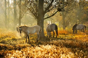 Konik horses grazing in the morning sun in Hobrechtsfeld