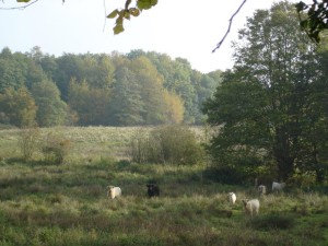Cattle on wetland in the Störland nature conservation area