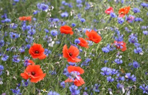 The meadows in the nature park are a riot of colour, with the red of the poppies and the blue of the cornflowers.