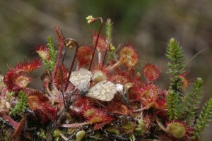 Sundew, a carnivorous plant which grows in the marshes in the nature park