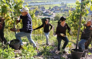 Picking grapes on the steep vineyards in the nature park.