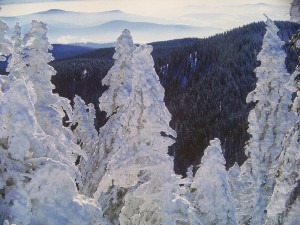 Snow-laden spruce trees with view of the Black forest mountains in the background
