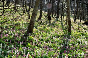 Woodland spring flowers in the nature park