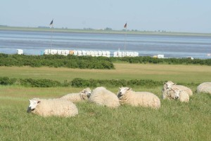 Near Husum: Sheep by the water