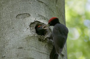 Family of black woodpeckers in Hainich National Park