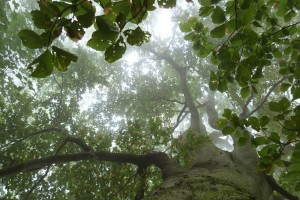 Coastal fog in the ancient beech forests